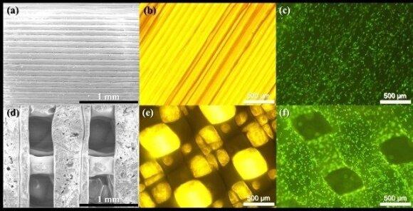 9 pav. (a) – pilno užpildymo ir (d) – 3D karkasai, pagaminti 3D spausdintuvu; vaizdai, gauti dėl SEM ; (b) ir (e) – tie patys karkasai šviesiniu bei fluorescenciniu (c) ir (f) mikroskopu; (c) ir (f) nuotraukose kamieninės miogeninės ląstelės, dažytos etid