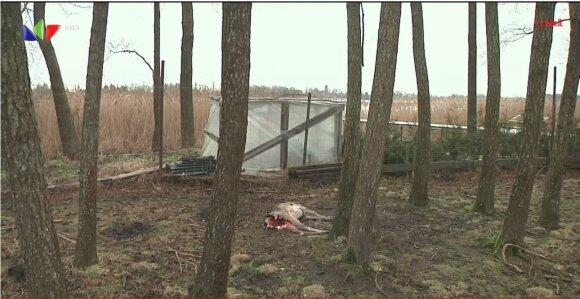 Kaišiadorių rajone gyventojus gąsdina suįžūlėję vilkai.