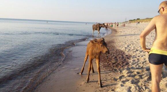 Negali nesišypsoti: nufotografavo paplūdimyje apsilankiusią briedžių šeimyną