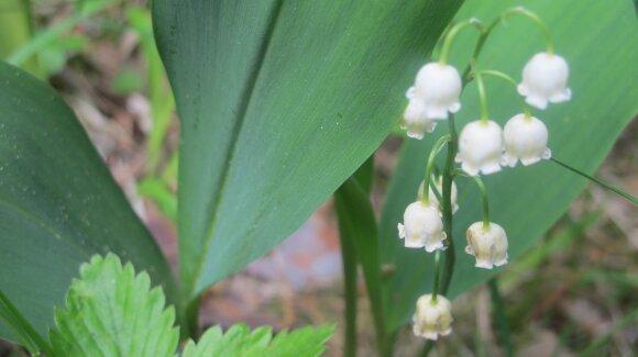 10 pavojingų augalų, kurių sode geriau neauginti