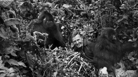 Davidas Attenborough su kalnų gorilomis Ruandoje 1979 m. John Sparks nuotr.