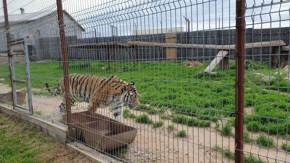 Tigrai Kalvarijos zoologijos sode