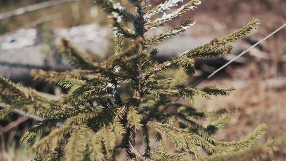 Apleistą žemę užsodino mišku