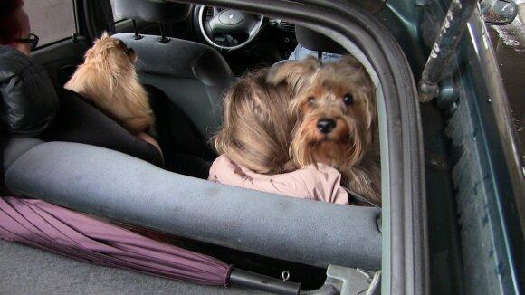 Kokie simptomai išduoda, kad šuo nepatenkintas kelione automobiliu