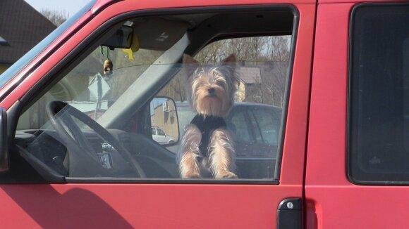 Šuo automobilyje