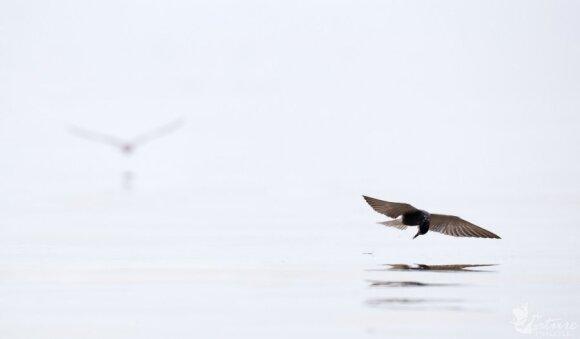 Žuvimis mintantys paukščiai gauna visą jose susikaupusią taršą. Juodoji žuvėdra