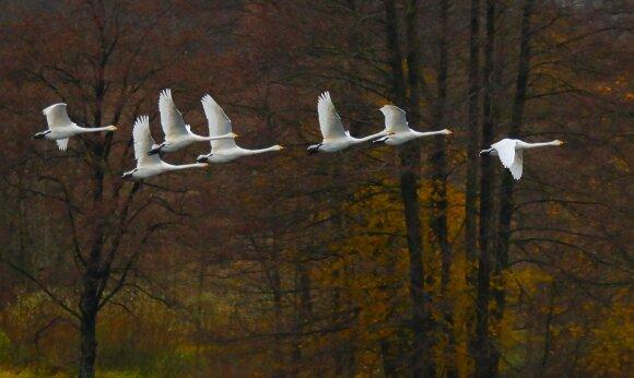 Migruojantys paukščiai
