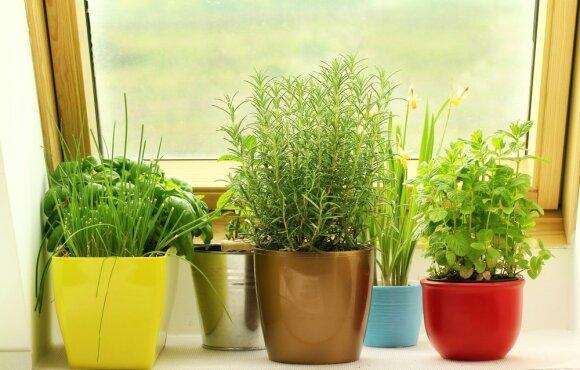 Daržas ant palangės. Ar jau išmėginote ataugančias daržoves?