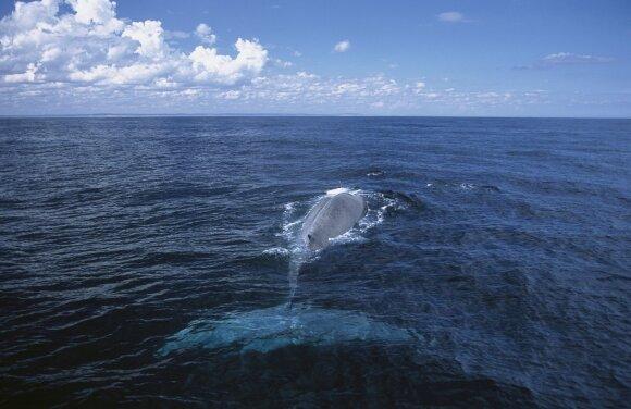 Nykštukinis mėlynasis banginis