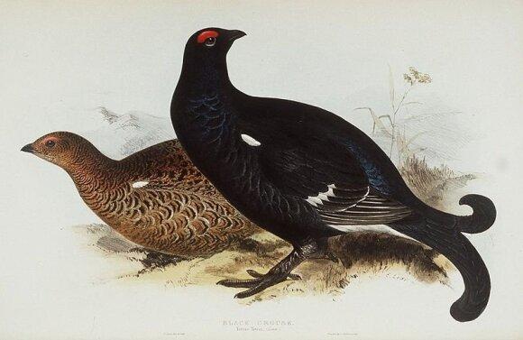 Tetervinų patinas (juodas) ir patelė