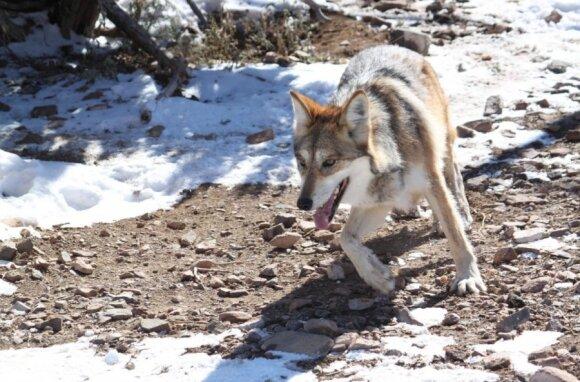 Vilkas - žmonių draugijos vengia, tačiau ar pultų netyčia sutikęs žmogų?