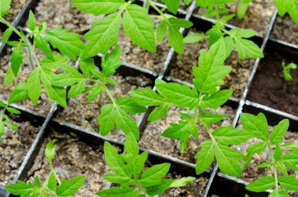 Kaip iš vieno pomidorų sodinuko gauti 5–7 kartus didesnį derlių: efektyvūs Igorio Maslovo metodai