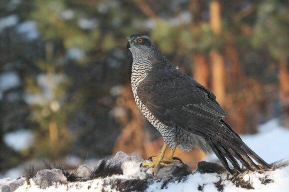 Dviprasmiškus jausmus lietuviams keliančiam paukščiui iškilo reali grėsmė