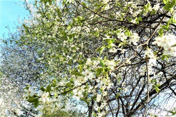 Pasigrožėkime pavasario akimirkomis: žemė virsta bekraščiu sodu