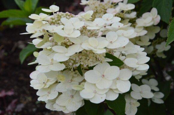 luotelinė hortenzija Hydrangea paniculata 'Sparkling'