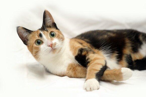Trispalvė katė