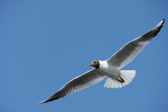 Paukščių pavadinimai: kodėl kovas - ne varna, o kiras - ne žuvėdra?