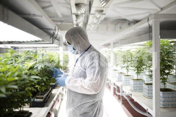 Šioje šalyje visi nori auginti medicinines kanapes: žmonės meta darbus, skolinasi ir tikisi produkcija užversti Europą