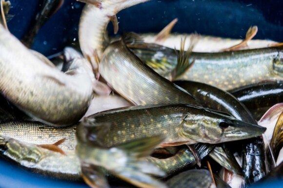 Šiuo metu daug lėšų skiriama įžuvinimui. Brakonieriai, gaudantys į ežerą įleistas žuvis jų neršto metu daro didžiulę žalą gamtai