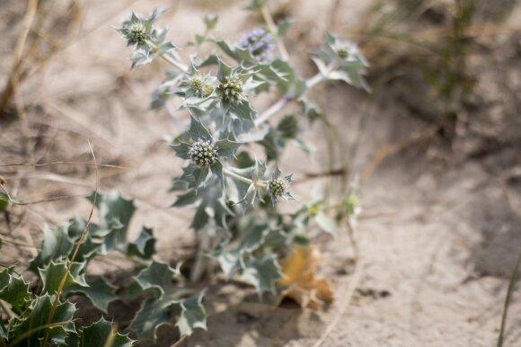Šis augalas Lietuvos pajūryje – tikra retenybė: sugalvojus jį nuskinti, gresia didžiulė bauda