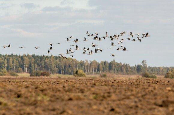 Paukščių migracija