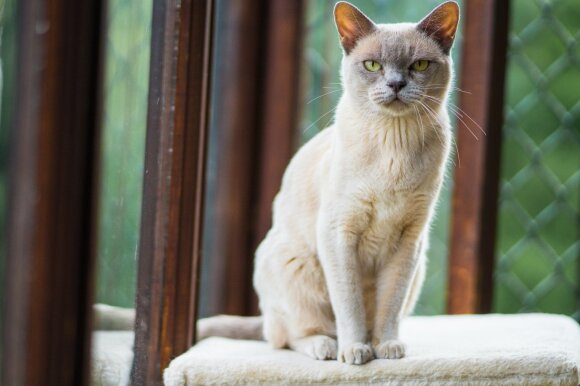 Burmos katės gimusios šventyklose, bet mielai gyvenančios šeimose