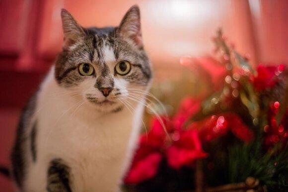 Katinai laukia Kalėdų