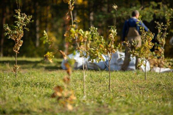 Medžių sodinimas