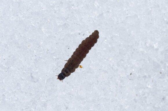 Minkštvabalio lerva, keliaujanti sniegu