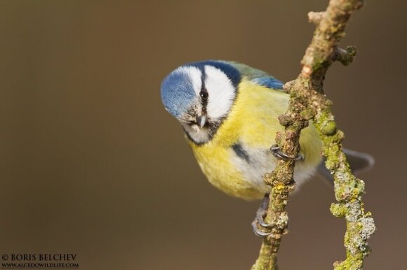 Mėlynoji zylė (Parus caeruleus)