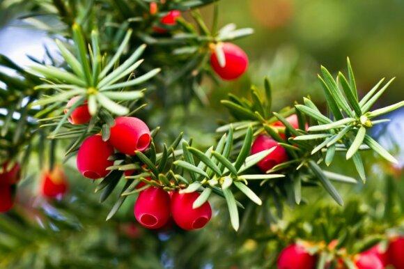 Gražūs, bet nuodingi: 10 sodo augalų, kurių geriau pasisaugoti