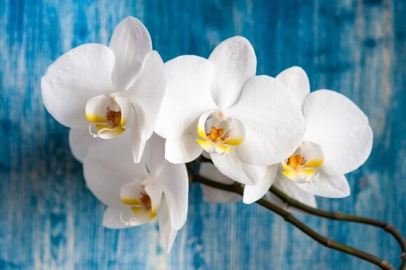 Orchidėjos – puošmena bet kokiam interjerui