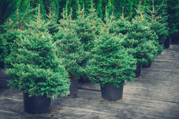 Įspėjimas skubantiems atsikratyti Kalėdų eglučių: viena klaida gali kainuoti brangiai