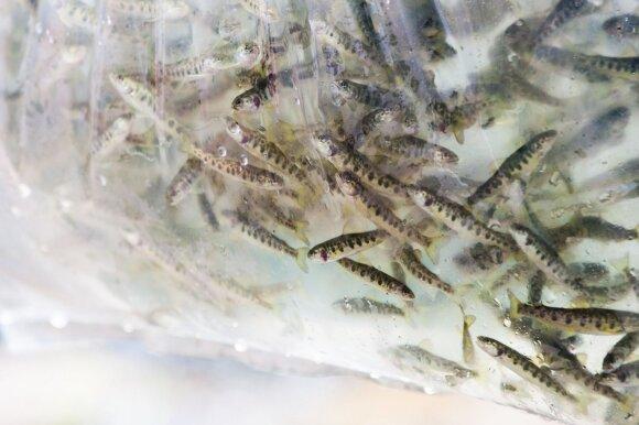 Atvirai apie žuvivaisą: Lietuva - baltas lopas tarp kaimynių