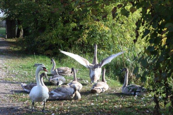Фермеры будут требовать компенсацию за пролетающих лебедей