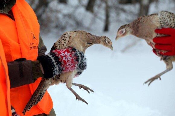 Ar garbingam medžiotojui verta dalyvauti fazanų medžioklėje?