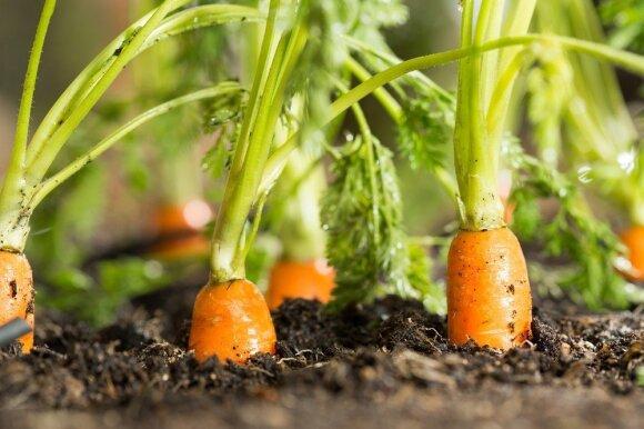 Kaip laikyti morkas, kad jos išliktų šviežios