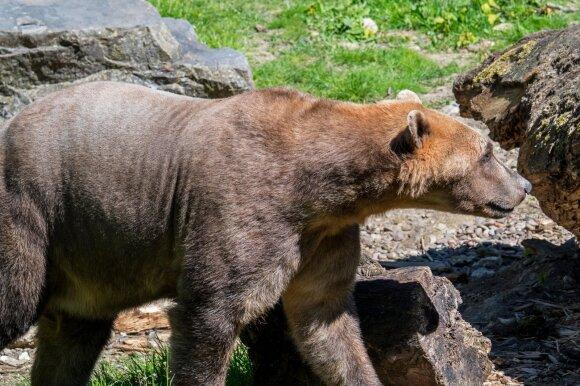Pizlis: poliarinio lokio ir grizlio hibridas