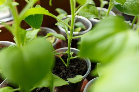 Metas daiginti sėklas: kaip tai padaryti tinkamai