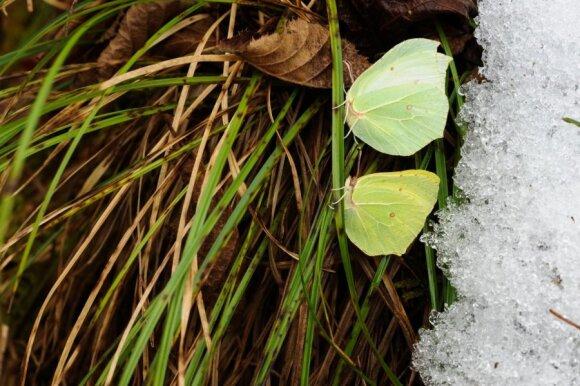 Šie citrinukai  Rūdninkų girioje rasti 2009 m. vasario 8 dieną