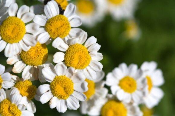 Daugybę ligų gydantys augalai: svarbu žinoti, kada ir kaip vartoti