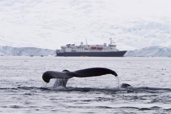 Kuprotasis banginis moja uodega netoli didžiulio laivo Antarktidoje