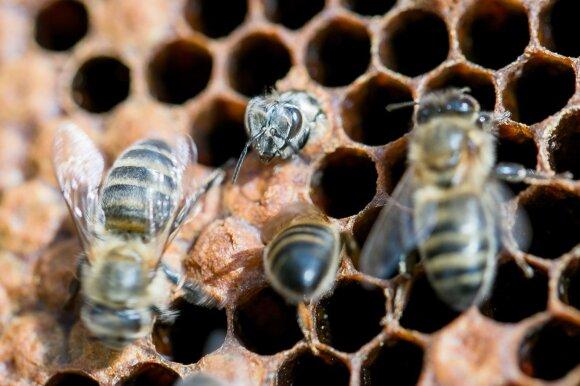 Bites laikantis kriminalistas: nežinodami galite nusipirkti net antibiotikais užkrėsto medaus