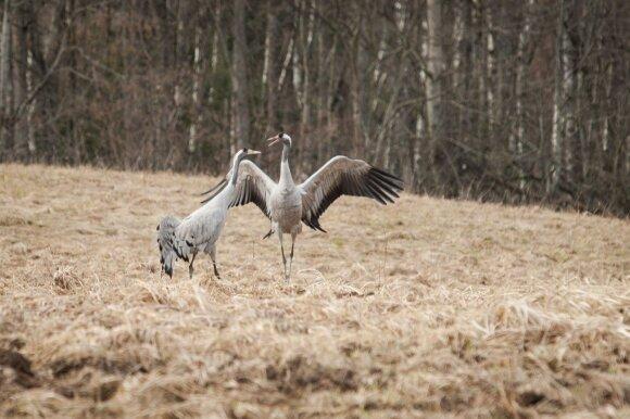 Išskrido pirmieji paukščiai: gali būti, kad daugiau jie į Lietuvą nebesugrįš