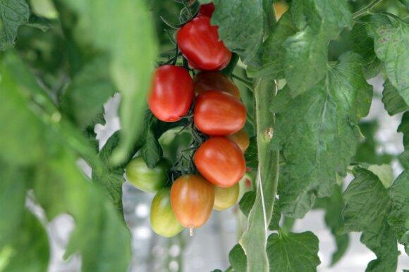 Parodė, kaip augina daržoves prekybos centrų pirkėjams