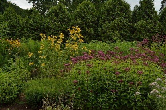 Rugpjūtį žydi daug puošnių gėlių. Nuotraukoje - rudbekijos ir kemero krūmas.