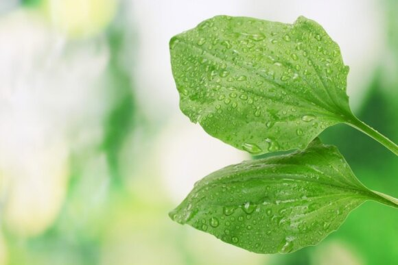 Augalas, kuriam pagyrų nebus per daug: padės susižeidus, kosint, įkandus uodui
