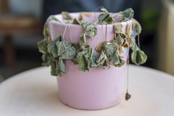 7 akivaizdžios priežastys, kodėl pražudome savo kambarinius augalus