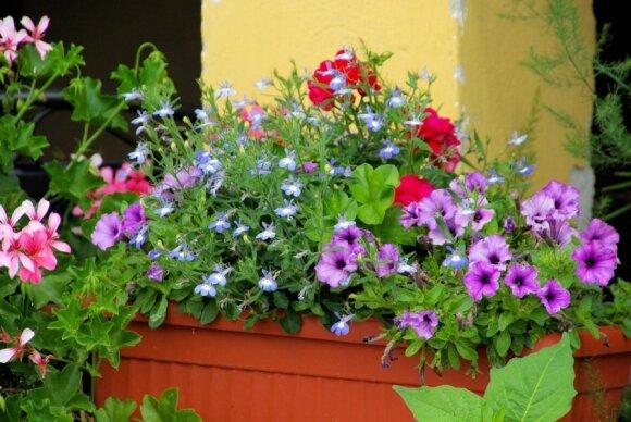 Metas pasirūpinti kambarinėmis gėlėmis