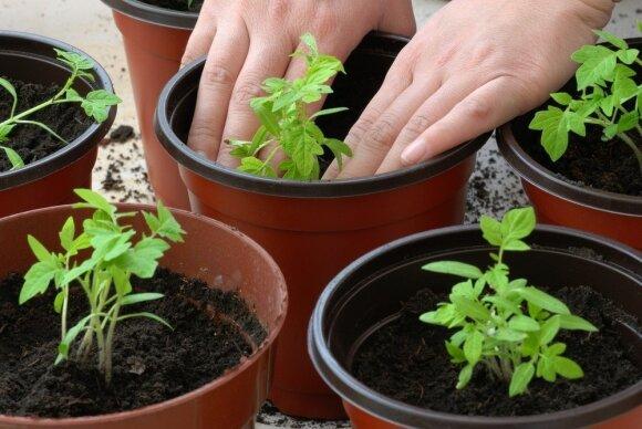 Ruošiamės daržo sezonui: klaidos, kurios neleidžia užsiauginti stiprių daigų